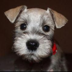 Baby Dogs For Sale Craigslist Cute Dogs Baby Dogs Cute Puppies