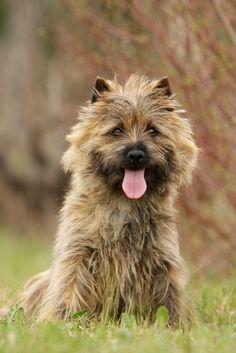 Cairn terrier ✿⊱╮