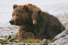 Alaska Grizzly Bear | In Alaska, these Grizzly Bears, a sow and her young cub, sit on the ...