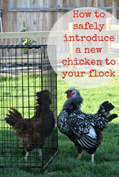 How to Introduce a New Chicken into your Existing Flock #homesteadinghints