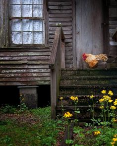 Rooster On The Step