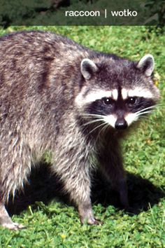 "Do you know the MVSKOKE word for ""Raccoon""?"