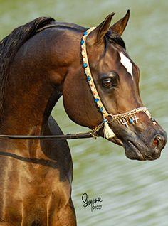 Talaria Farms - Arabian Horse