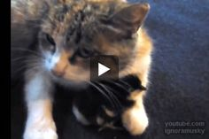 Cat Becomes Mom to Chick - Love Meow