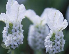 Lavandula stoechas subsp. stoechas f. leucantha 'Snowman'  white French lavender