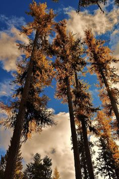 ♥ Tamarak Trees