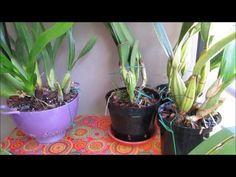 Trasplantando una Cattleya muy pesada para su maceta - YouTube