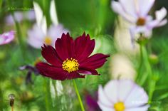 Kerti Pillangóvirág (Cosmos bipinnatus) gondozása, szaporítása (Lepkevirág)