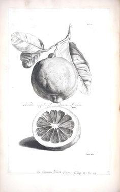 Botanical - Black and white - Fruit - Limeon 7 vintage printable