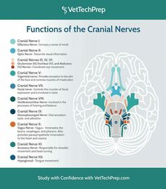 Functions of cranial nerves Best Picture For Exotic pets beautiful creatures For Your Taste You are looking for something, and Vet Tech Student, Nursing Students, Medical Students, Nursing School Notes, Ob Nursing, Nursing Schools, Dog Anatomy, Vet Assistant, Veterinary Medicine