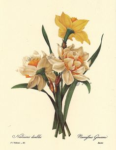 Narcissus, a Pierre Redoute Botanical Print,  -this is a good source for printable botanical art, vintage illustrations, maps, and digital supplies.