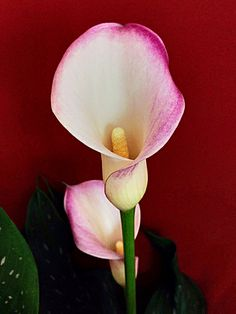Cala. Calla lily. (zantedeschia) Calla Lily Flowers, Calla Lillies, Exotic Flowers, Beautiful Flowers, Flower Art, My Flower, Lilies Drawing, Zantedeschia, Rose Pictures