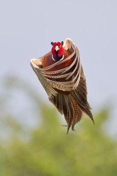 Pheasant- They always look like they are saying something....