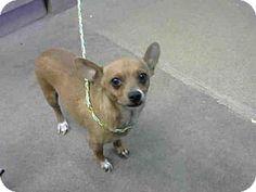 Sacramento, CA - Chihuahua. Meet A693910, a dog for adoption. http://www.adoptapet.com/pet/16293325-sacramento-california-chihuahua