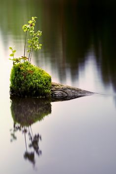 Moss & young trees on an old log in the water.