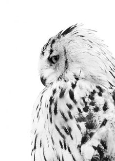 White owl, posters in the group Posters / Formats / at Desenio AB Desenio Posters, Poster Photo, Poster Poster, Elephant Poster, Poster Online, Owl Photos, Nature Posters, Scandinavian Art, Owl Print