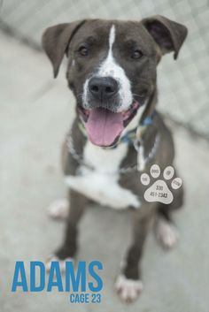 Update 4/5:  Sadly Adams is still waiting, waiting for his chance to find a family of his own to love, and he hopes they will love him as much.  The only thing keeping this dog from being adopted, is his energy, his zest for outside, and playtime. ...