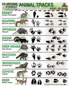 Forest Animal Tracks pdf (animals specifically found in Michigan)