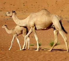 Camels via www.Facebook.com/PositivityToolbox