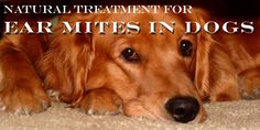 How to Treat Your Dog's Ear Mites Naturally
