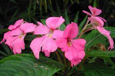 I. latiflora