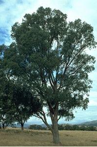 Picture of Eucalyptus radiata, narrow leaved peppermint