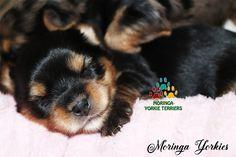 Available Micro Teacup Yorkies* Toy Yorkie Puppies* Yorkie Terrier Puppies *Parti Yorkie Puppies *Chocolate Yorkie Puppies *Merle Yorkie Puppies *Socal Yorkie Teacup Puppies - Dogs GP Pomeranian Puppies For Free, Yorkie Poo Puppies, Yorkie Breeders, Toy Yorkie, Yorkies For Sale, Yorkie Puppy For Sale, Teacup Puppies For Sale, Toy Puppies, Terrier Puppies