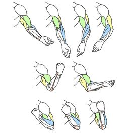 Art and Reference point -- arm rotating chart, male, man, anatomy muscle, fist, bone