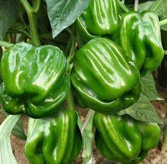 Wang Ma sementes de pimenta picante 100 sementes de hortaliças(China (Mainland))