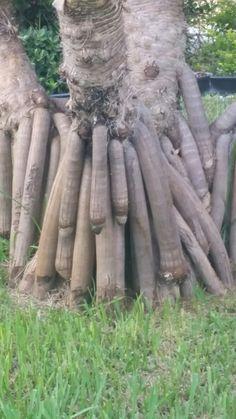 Penis tree?