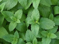 Read on to find out how the amazing lemon balm can help you treat thyroid, hormonal and memory problems. It's natural and easy to use.