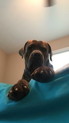 Cane Corso - Deacon Frost, 2 yrs old. Cane Corso Italian Mastiff, Cane Corso Mastiff, Kane Korso, Raising Canes, Black Pitbull, Beautiful Dogs, Dog Love, Animals And Pets, Fur Babies