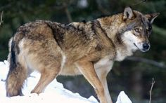 #Wolves return to Denmark for first time in 200 years - Telegraph.co.uk: Telegraph.co.uk Wolves return to Denmark for first time in 200…