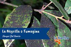 Hongos del Huerto: La Negrilla o Fumagina Cantaloupe, Fruit, Whitefly, Woodlice, Plant Parts, Fungi, Vegetable Gardening
