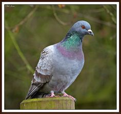 British garden birds - Rock dove
