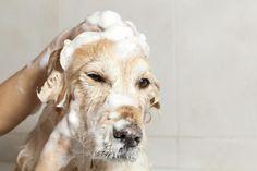 Seguramente amas a tu perro, pero si hay algo que molesta es el olor que toman las cosas de la casa, y ni hablar de cuando tu hogar entero huele a mascota. Aprende cómo quitar el olor a perro de tu casa de una vez por todas con estos sencillos consejos.Elimina el olor de tu perroComo primera medida, los consejos