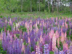 Lupines in Maine, my home state. Lupine Flowers, Wild Flowers, Heuchera, Delphinium, Perennials, Outdoor Gardens, Fields, Backyard, Landscape