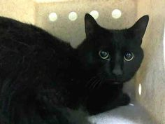***GONE BUT NOT FORGOTTEN*** 11/30/14 Brooklyn Center  My name is MR MISTER. My Animal ID # is A1021499. I am a male black domestic sh. The shelter thinks I am about 1 YEAR  I came in the shelter as a STRAY on 11/23/2014 from NY 11233, owner surrender reason stated was STRAY.