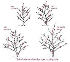 Growing Jonagold Apple - Apple Trees - Plant Manuals - Stark Bro's