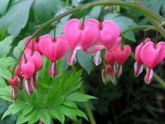 bleeding heart . Perennial plant for saded garden, flowering in early spring . Needs only some organic compost each year
