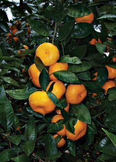 Growing Tropical fruits in Alabama | Alabama Gardener Web Articles