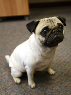 5 Reasons Why Pugs Make Great Therapy Dogs http://www.thepugdiary.com/5-reasons-pugs-make-great-therapy-dogs/ #pug