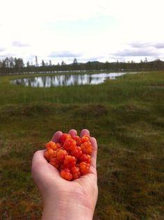 Det norrländska guldet, hjortron. Cloudberries, Sweden