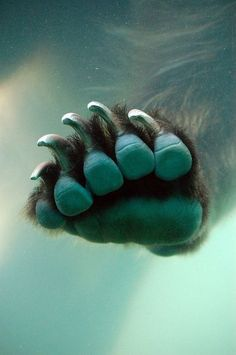 Underwater isbjorn paws and claws bear foot Beautiful Creatures, Animals Beautiful, Cute Animals, Ours Grizzly, Paws And Claws, Love Bear, Big Bear, Bear Paws, Tier Fotos