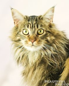 Pictures of Maine Coon Cat Breed--I miss my Maine Coon!