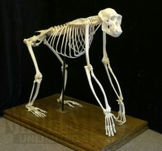 Chimp skeleton