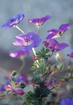Geranium 'Rozanne' was given the RHS award for Plant of the Century in 2013. It's a great ground cover plant, flowering freely from May to September. A magnet to bees and butterflies.
