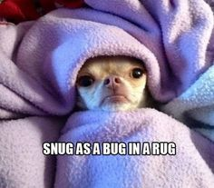 Funny Pictures Of Chihuahua Dogs Cute Chihuahua, Cute Puppies, Cute Dogs, Chihuahua Quotes, Chihuahua Puppies, Funny Cute, The Funny, Hilarious, Funny Memes