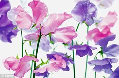 I just love sweetpeas