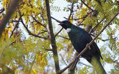 Tui singing in kowhai tree.